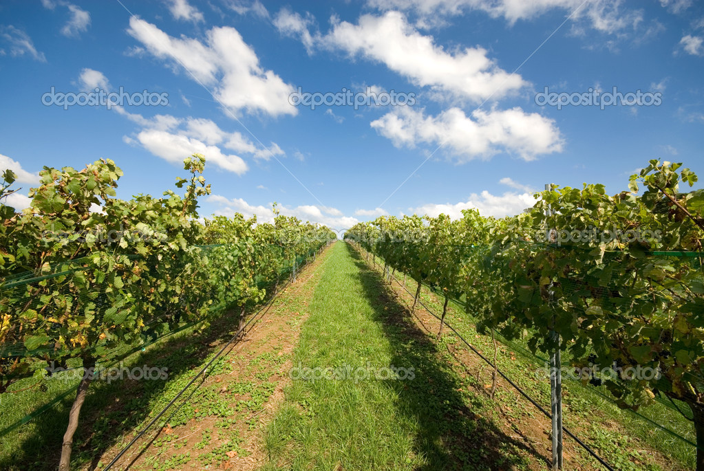 Rows of grapevines growing in a vineyard on the Southern Highlands of New South Wales, Australia — Stock Photo #2176440