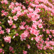 Flowering Azalea — Stock Photo