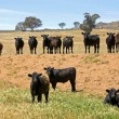 Stock Photo: Cattle in Row