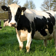 Holstein Freisian Cows — Stock Photo #2227314
