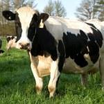 Holstein Freisian Cows — Stock Photo