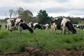 Holstein Friesian Cows — Stock Photo