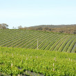 Rows of Vines — Stock Photo #2230220