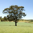 Tree in a Paddock — Stock Photo