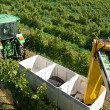 Harvesting Grapes — Stock Photo #2233230