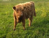Animal de granja — Foto de Stock