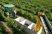 Harvesting Grapes — Foto de Stock