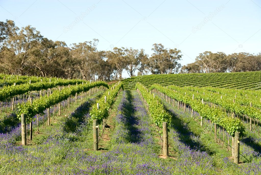 A vineyard near Young, New South Wales, Australia — Stock Photo #2230296
