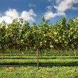 Grapevines — Stock Photo #2241316
