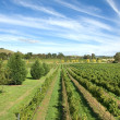 Vineyard Scene — Stock Photo #2241373