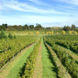 Vineyard Scene — Stock Photo #2241411