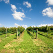 Vineyard Scene — Stock Photo #2241453