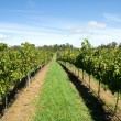 Rows of Grapevines — Stock Photo #2241499
