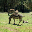 Royalty-Free Stock Photo: Grazing Zebras