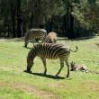 Grazing Zebras — Stock Photo #2243849