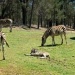 Grazing Zebras — Stock Photo #2244564