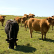 Stock Photo: Limousin Cattle