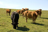 Limousin Cattle — Stock Photo