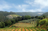 Vineyards and olive fields in Chianti — Stock Photo