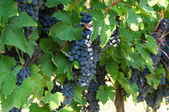 Grapevines with bunches of ripe grapes — Stock Photo