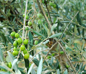Unripe green olives on olive tree — Stock Photo