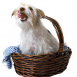 Hungry Licking Pup in Basket — Foto Stock