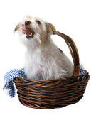 Hungry Licking Pup in Basket — Stock Photo