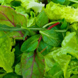 Foto de Stock  : Mixed Salad Greens