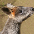 Swamp Wallaby — Stock Photo