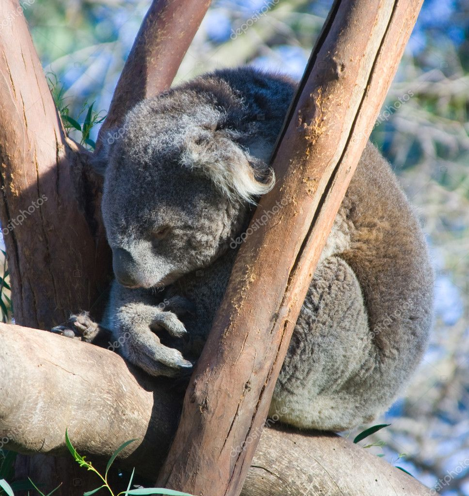 Sleeping Australian Koala (Phascolarctos cinereus) — Stock Photo #2290342