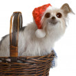 Stock Photo: Comical Christmas Pup
