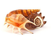 Three seashells on white — Stock Photo