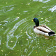 Stock Photo: Wild duck