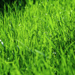 Stock Photo: Grass after a rain