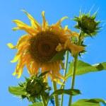 Sunflower — Stock Photo #2227994