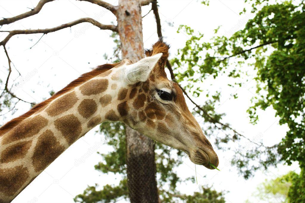 一只长颈鹿上一个动物园, 野生动物园的负责人– 图库图片