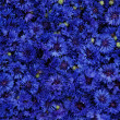 Cornflower — Stock Photo #2239759