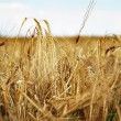 Barley — Stock Photo #2239986