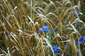 Barley and cornflower — Stock Photo