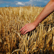 Stock Photo: Barley and hand