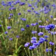 Cornflower — Stock Photo