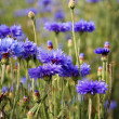 Cornflower - Stock Photo