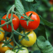Tomatoes 1 — Stock Photo