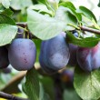 Royalty-Free Stock Photo: Plums 6