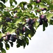 Plums on the tree 2 — Stockfoto