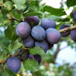 Plums 7 - Stock Photo