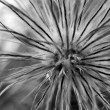 Royalty-Free Stock Photo: Faded pasqueflower BW
