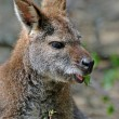 Kangaroo — Stock Photo #2245486
