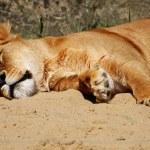 Lioness — Stock Photo #2245540
