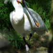 Spoonbill - Stock Photo